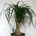 Бокарнея (нолина) Бутылочное дерево