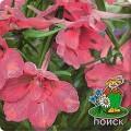 Дельфиниум крупноцветковый Розовая бабочка