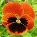 Виола Оранжевое пламя