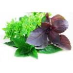 Пряные травы и овощи