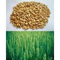 Пшеница 0,3 кг.